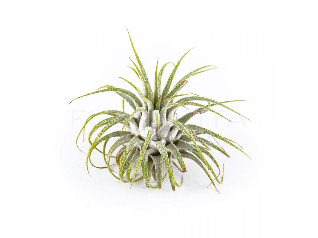 tillandsia ionantha zelena florecita 001