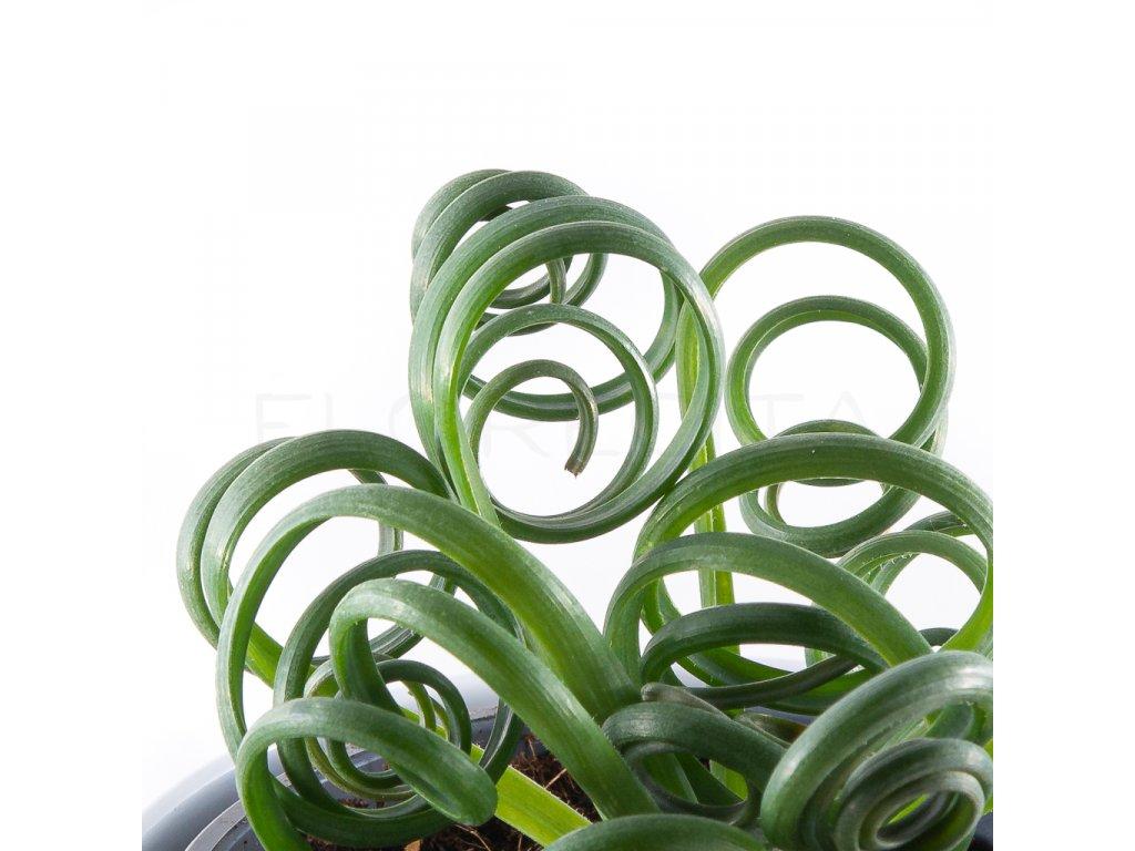 Albuca Spiralis Frizzle Sizzle florecita 053