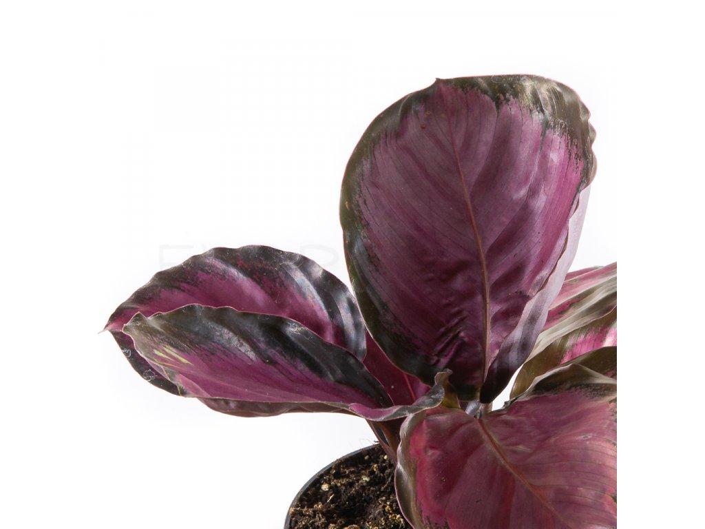 calathea roseopicta rosy florecita 002