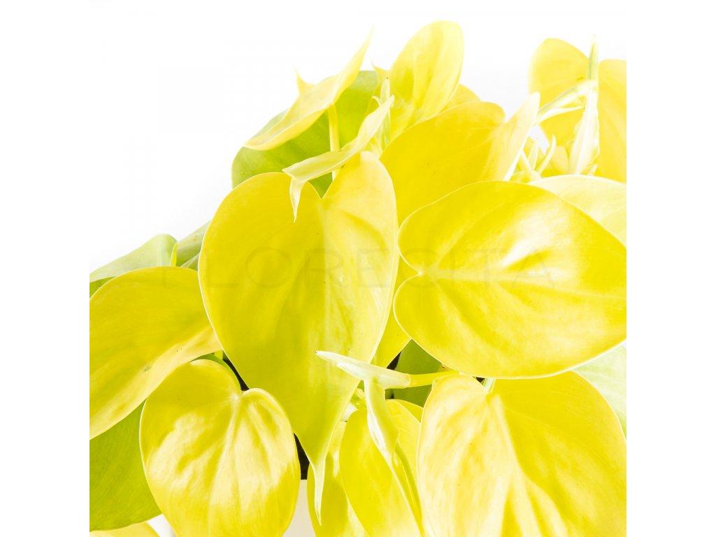 philodendron lemon lime florecita 002