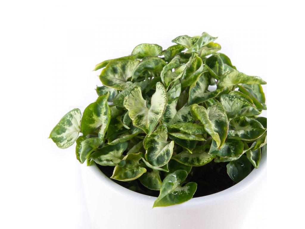 syngonium pixie florecita 002