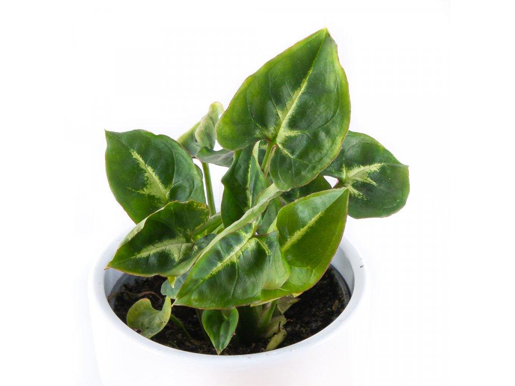 syngonium podophyllum florecita 002