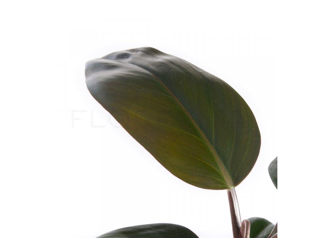 philodendron rojo congo florecita 002