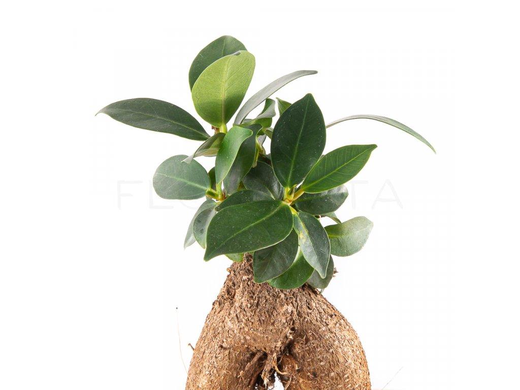 ficus ginseng microcarpa florecita 003