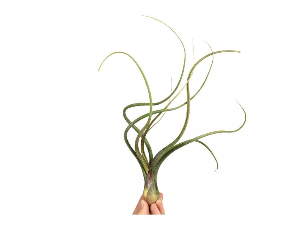 tillandsia baileyi florecita