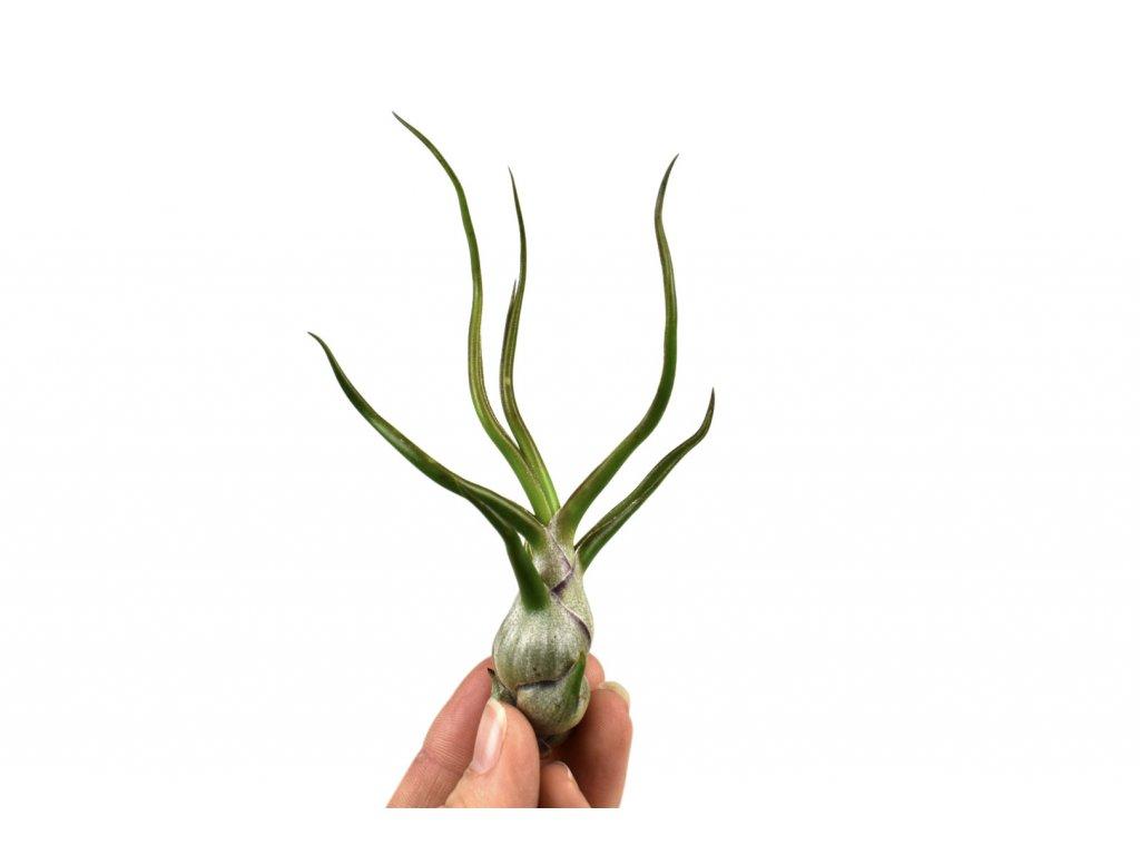 tillandsia bulbosa florecita
