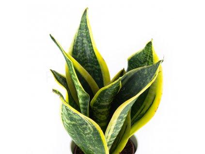 sansevieria laurentii florecita 025
