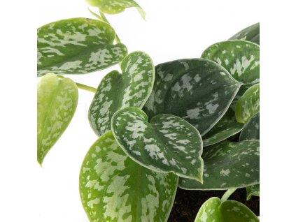 scindapsus pictus argyraeus florecita 002