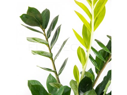 zamioculcas zamiifolia florecita 025