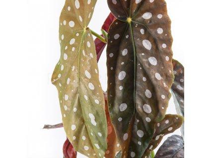 begonia koralova florecita 002