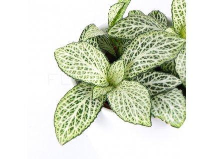 fitonia zelena florecita 002