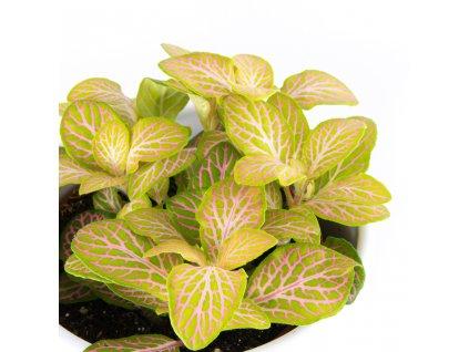 Fitonia verschaffeltova florecita 002