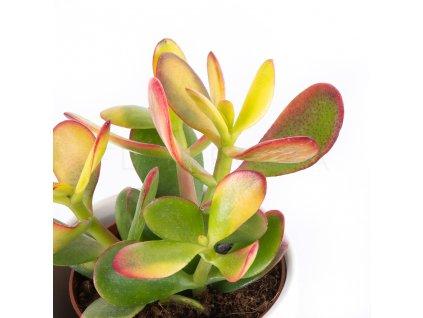 tucnolist crassula sunset florecita 002