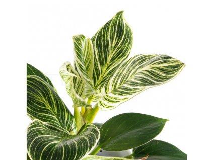 philodendron birkin florecita 002