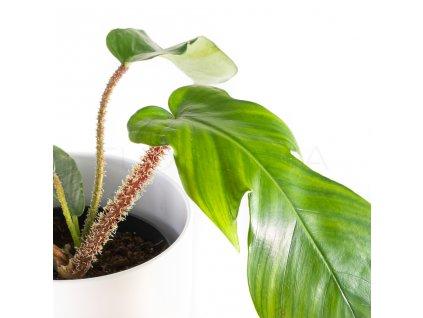 philodendron squamiferum florecita 002