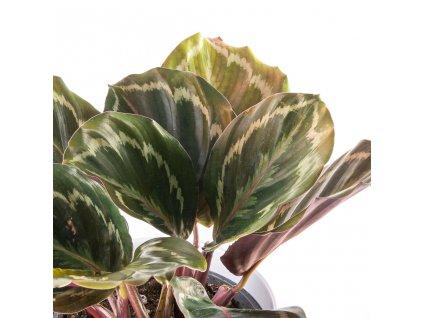 calathea roseopicta florecita 002