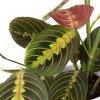 maranta leuconeura florecita 003