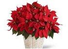 vánoční květiny