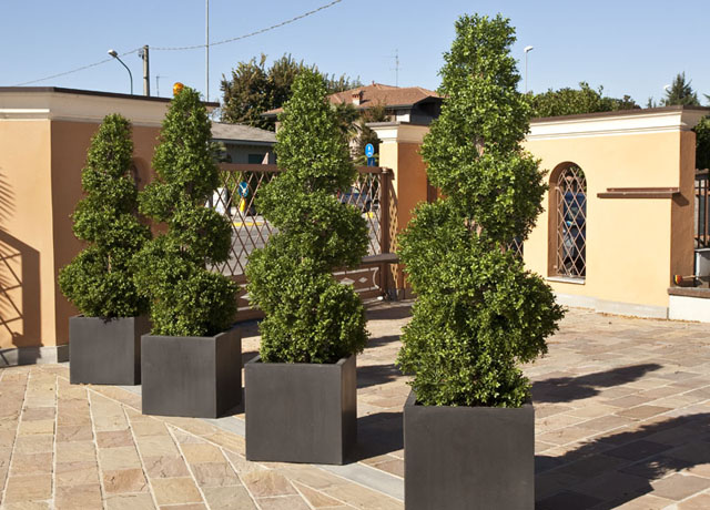 boxwood_spiral_tree_180cm