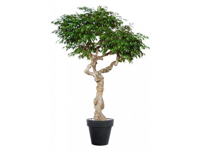 Umělý strom Ficus Golden Nidra (Varianta 220cm)