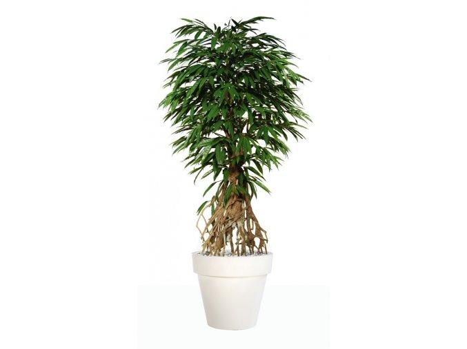 Umělý strom Longifolia Root  190, 220cm