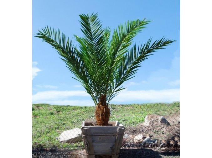 Umělá palma Phoenix Palm Head (200cm)