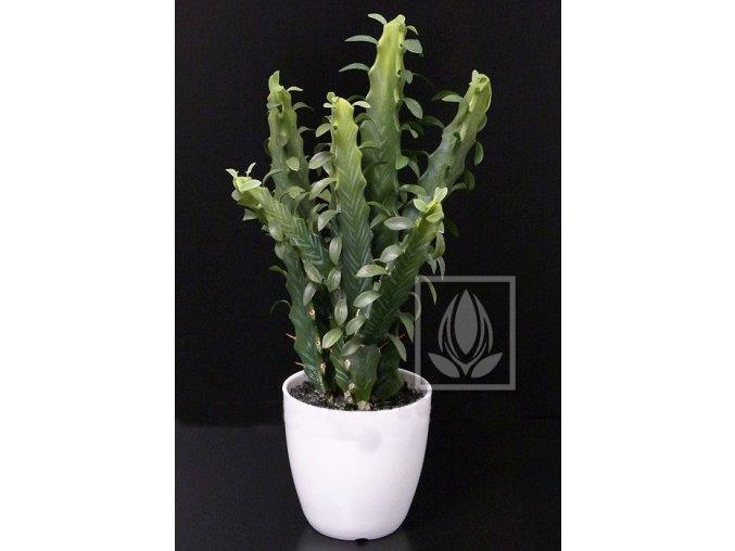 Umělá rostlina Euphorbia (40cm)