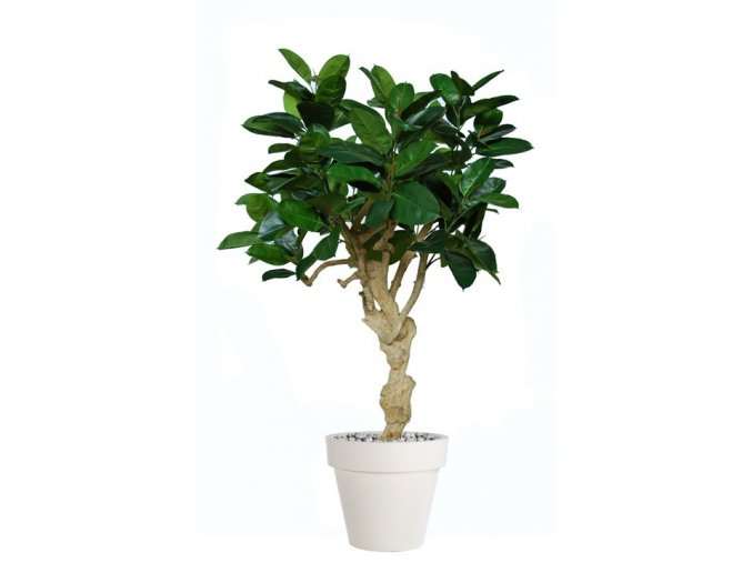 26560 ficus elastica crown 180 cm green 5426005