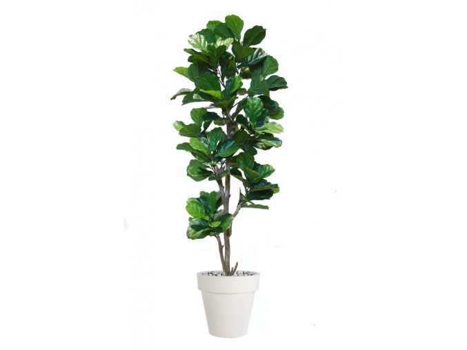 43420 ficus lyrata step tree 200 cm green 5427005