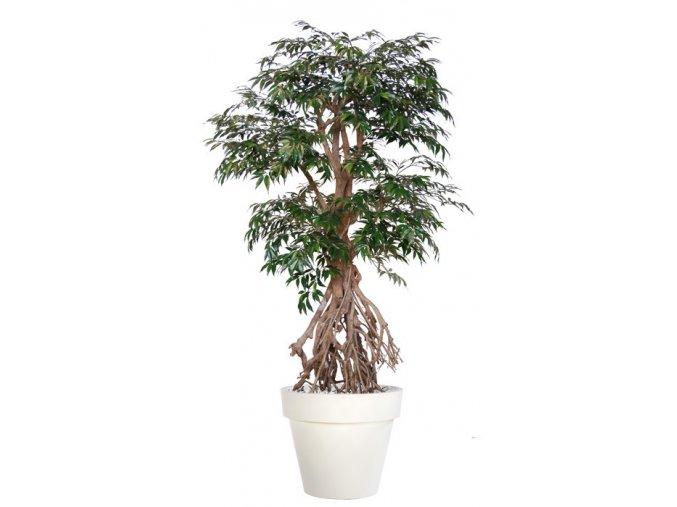 96758 myrsifolia root 190 cm green 1068009