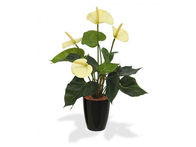 405104pp10cr anthurium 40 creme orchid high 10 black