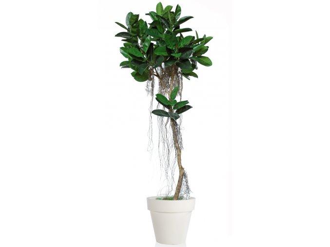 Ficus Elastica Air Tree 260 cm Green V5426011