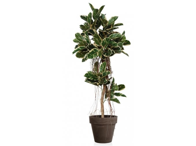 Ficus Elastica Air Tree 190cm Var