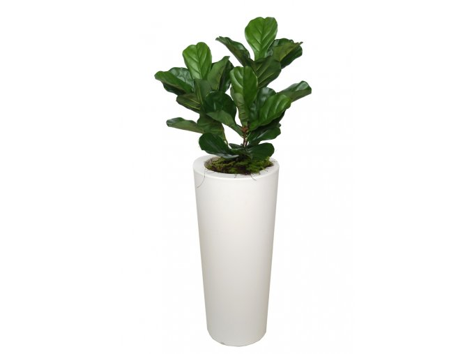 Ficus Lyrata Bush Small 120 cm Green V5427007