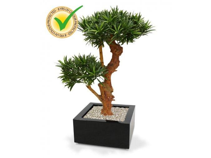 150407uv podocarpus bonsai x2 65 uv montana 33 shiny black