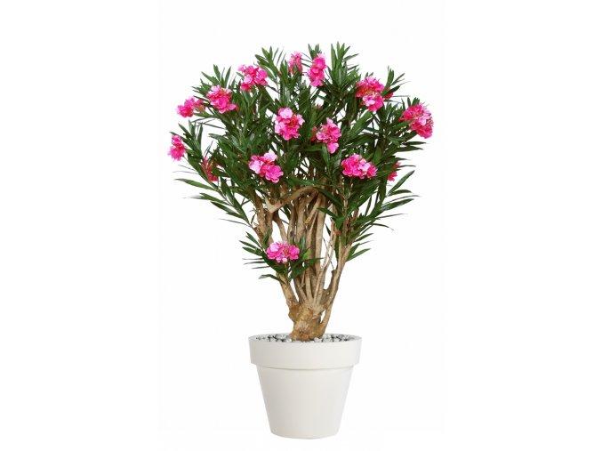 Oleander Robusta 180 cm Pink V1079002