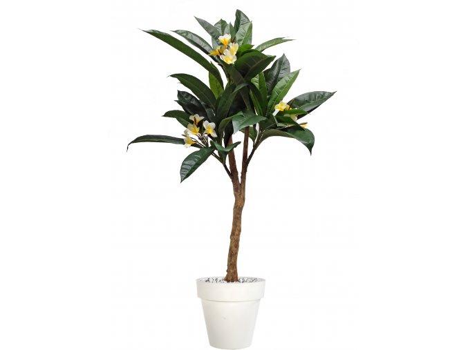 Plumeria Florida Plant 150 cm Green Cream V1082003