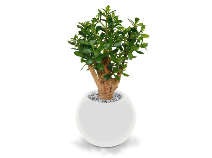 403306 crassula 60 darwin 35 shiny white
