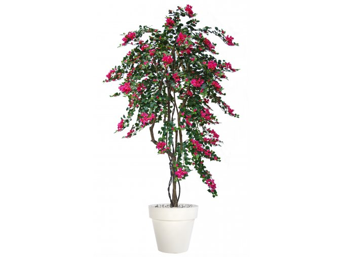 Bouganvillea Twisted Tree 240 cm Fuchsia V1066F05