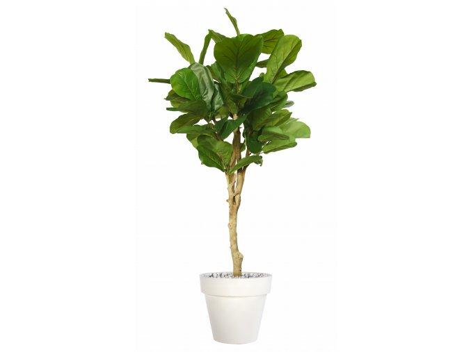 Ficus Lyrata Topiary 200 cm Green V5427014