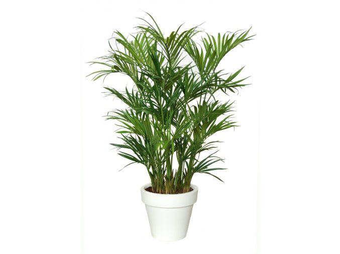 Kentia Palm Lux x3 200 cm Green V4175002
