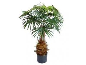 Umělá palma Vějířovitá mini (100cm)