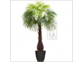 Umělá palma Vějířovitá (Varianta 220cm)