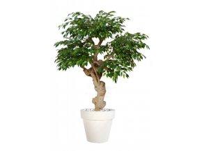 Ficus Golden Crown