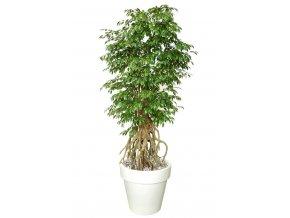 Umělý strom Fikus Golden Root (220cm) (Barva listů zelená)