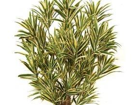 Umělý strom Dracaena Reflexa Malabar Lux (180cm)  dracena
