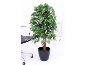 Ficus benjamin 120 Multi