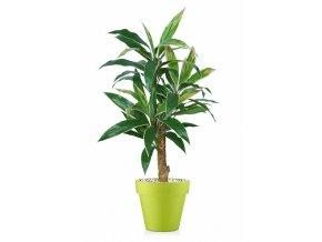 53152 cordyline plant 120 cm variegated 5416004