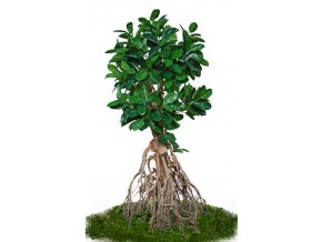 ficus elastica root giant 260 cm green 5426007
