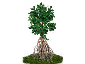 ficus elastica root giant 260 cm green 5426007